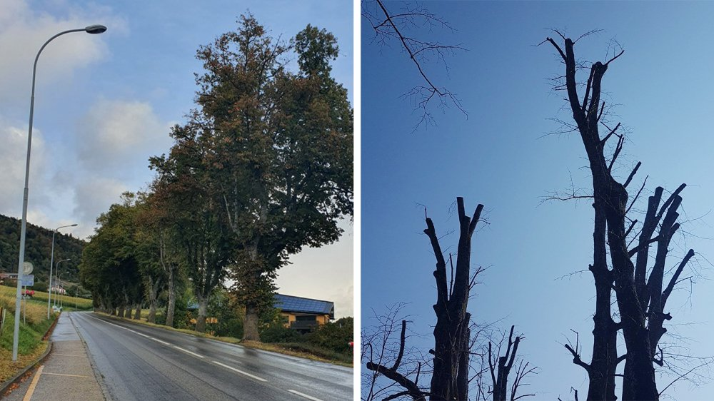 La taille envisagée sur les arbres entre Rochefort et Les Grattes donneront ce résultat (à droite). Trop sévère, selon les arboristes Damien Fesselet et Eddy Macuglia.