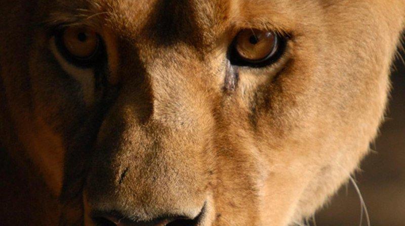 Sabu a rejoint la maison des lions du Sikypark. Après son voyage d'Allemagne, la lionne de 19 ans a besoin de repos.