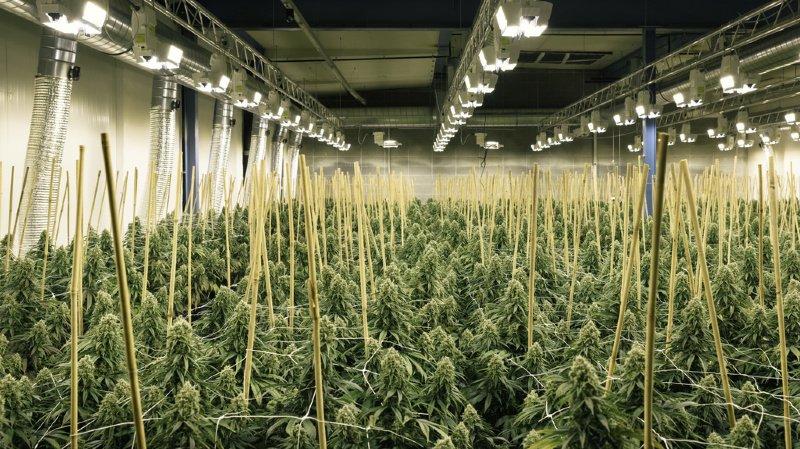 La police cantonale zurichoise avait appris que du chanvre était illégalement cultivé dans un bâtiment commercial,