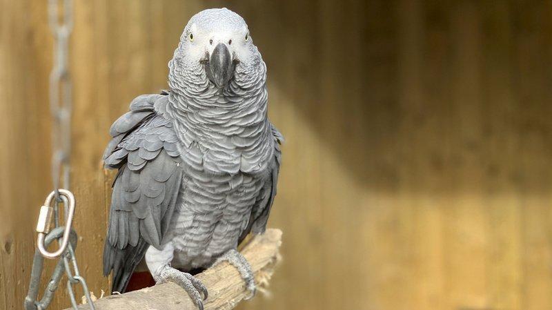 Elsie est l'un des cinq perroquets effrontés du parc anglais.