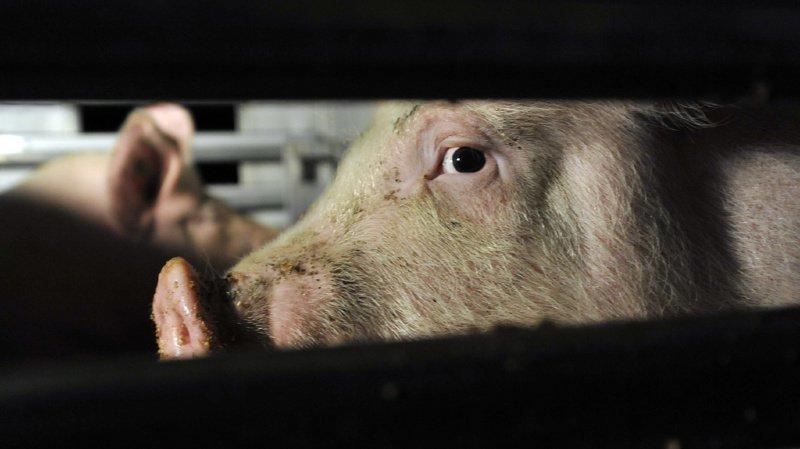 Protection des animaux: les procédés d'abattages seront adaptés pour réduire la souffrance