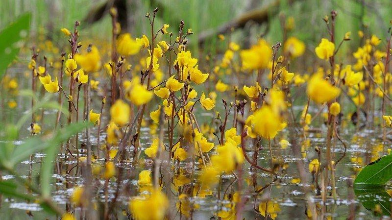 La pigmentation des fleurs comme l'utriculaire commune se modifie avec le changement des températures.