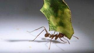 Insolite: un Singapourien vend des fourmis comme animaux de compagnie