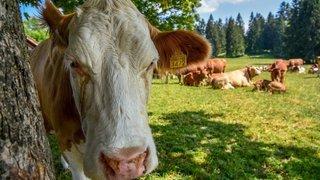 Jura: quatre randonneuses chargées par une vache mère, une blessée
