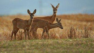 Val-de-Ruz: une chevrette a conquis le jury du concours photos sur la faune sauvage