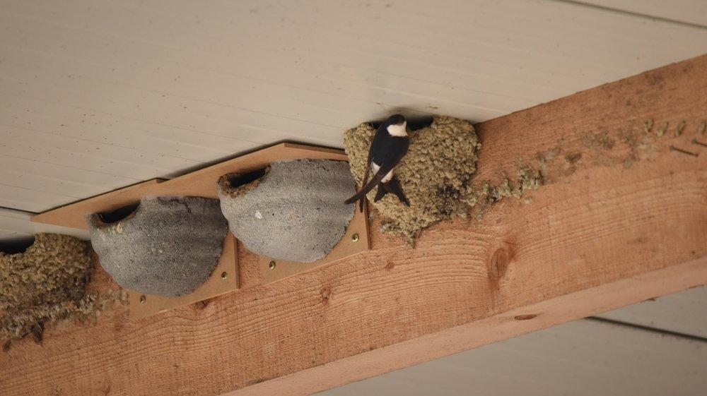 A la pension de la ferme au Crêt-de-la-Sauge, les voyageuses peuvent s'installer à choix dans les nichoirs artificiels, reprendre un ancien nid naturel ou construire le leur.