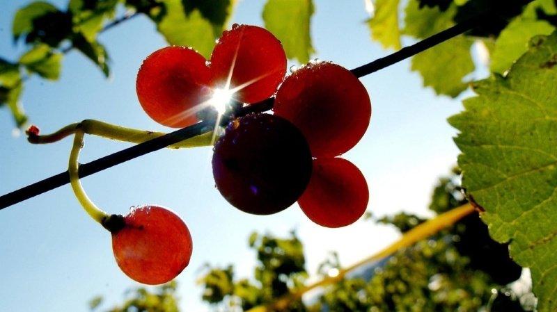 """Le vin """"English Nouveau"""" est le premier vin primeur rouge du Royaume-Uni."""
