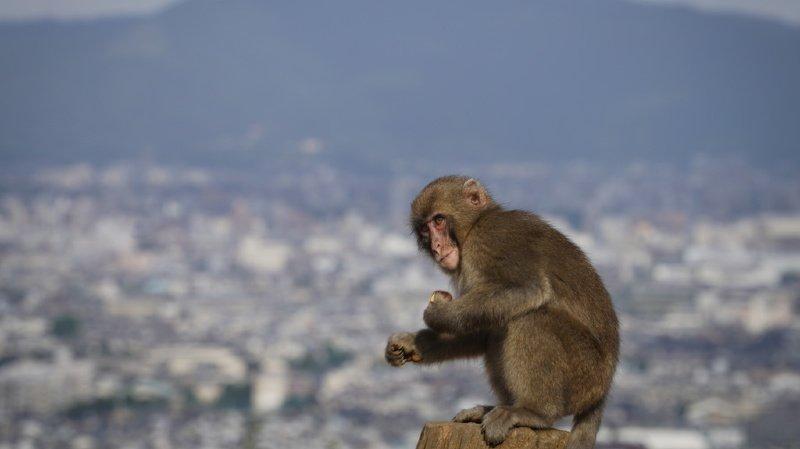 Une nouvelle espèce de singe a été découverte en Birmanie (archives).
