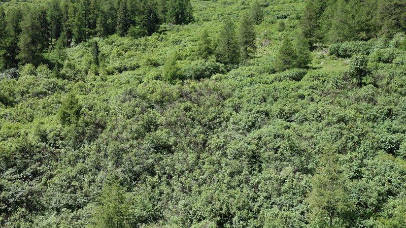 Pâturages: les buissons nuisent-ils à la biodiversité?