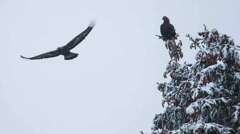 Le jeune aigle du Val-de-Travers vole pour le photographe