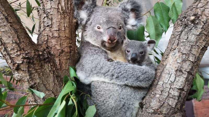 Uki s'agrippe désormais à sa mère Pippa. Les koalas naissent à un stade de développement particulièrement précoce. Ils passent ensuite de longs mois dans la poche de leur mère. Leur sexe ne peut être déterminé que lors de leurs premières sorties.
