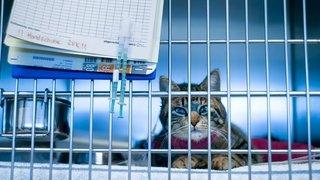 Coronavirus: un premier chat infecté en Suisse