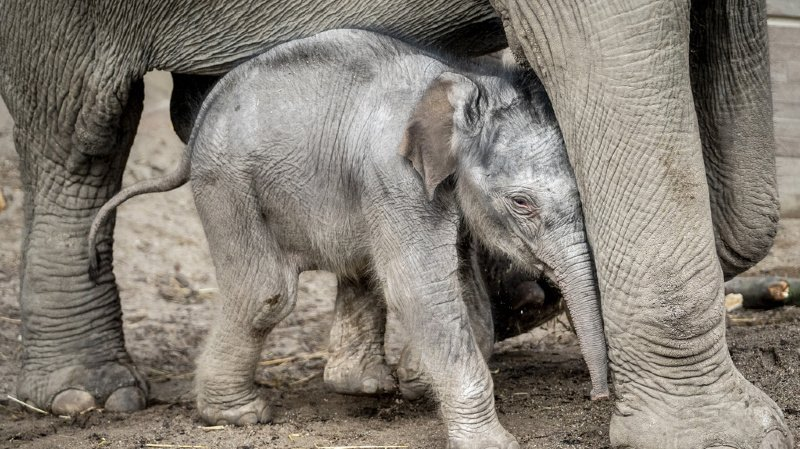 Thaïlande: il sauve un bébé éléphant en lui prodiguant un massage cardiaque
