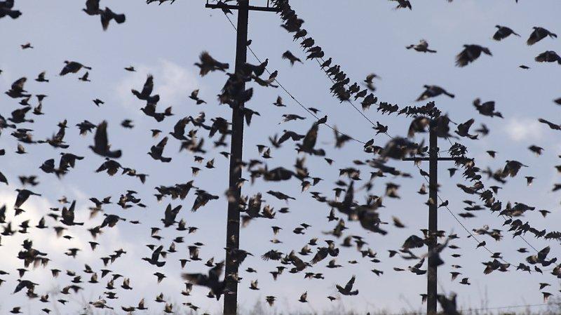 Faune: année record pour la Station ornithologique suisse