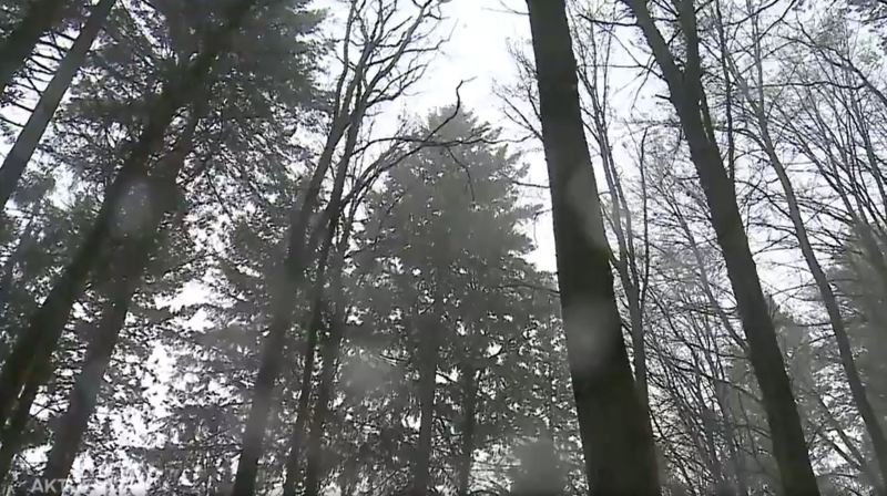 Un arbre argovien détrônerait le Sapin Président de Couvet