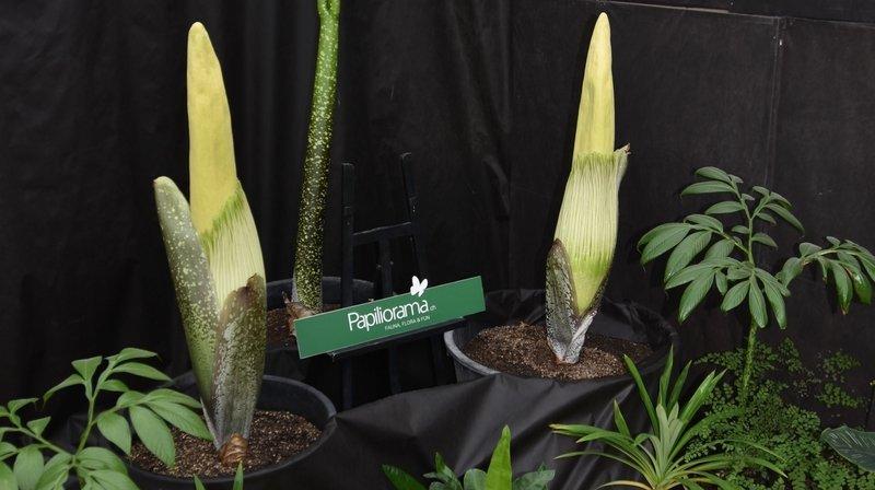 Les deux tubercules d'arum titan devraient fleurir entre mercredi et jeudi.