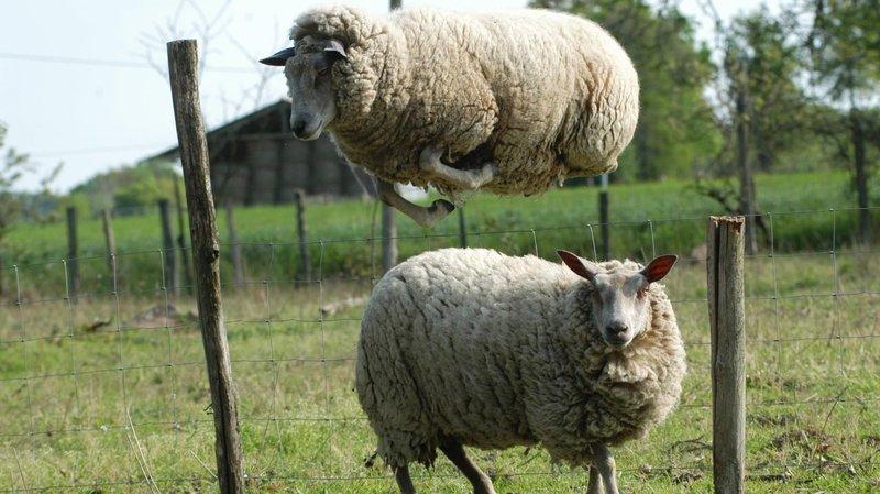 Locloise acquittée: elle n'est pas responsable de la fugue de ses moutons