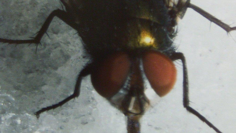 Les mouches sont une solution durable pour valoriser les déchets alimentaires.