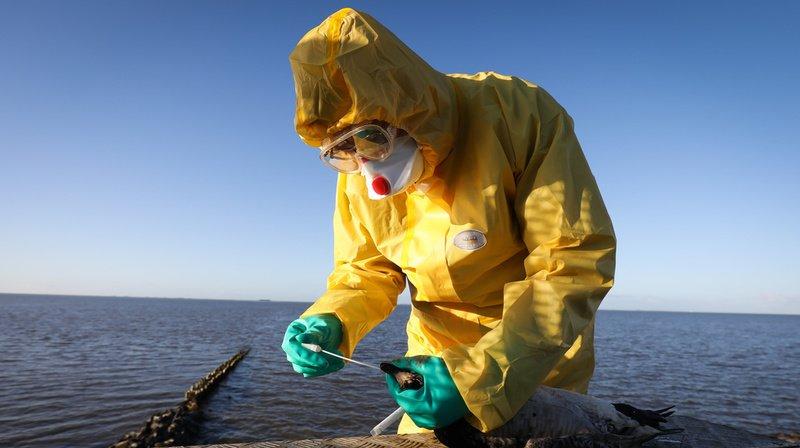 Grippe aviaire: après un 2e cas près du lac de Constance, l'OSAV ordonne des mesures