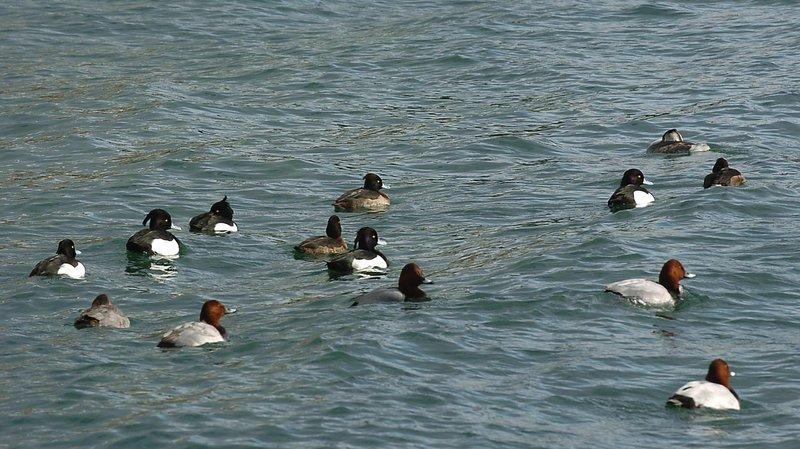 Les fuligules milouins (corps gris et tête brune au premier plan, ici avec des fuligules morillons) sont les plus nombreux cet hiver sur le lac de Neuchâtel.