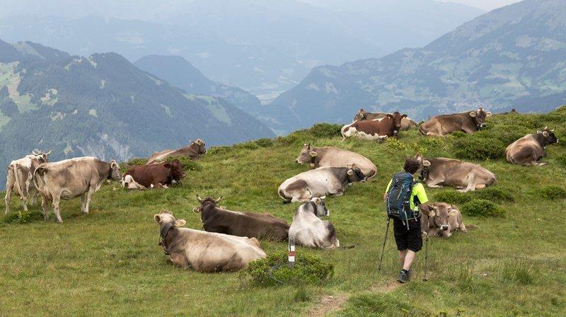 Les randonneurs sont invités à adopter plusieurs recommandations lorsqu'ils croisent des vaches allaitantes.