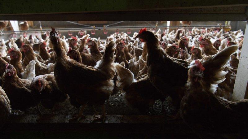 France voisine: nouveau foyer de grippe aviaire dans les Ardennes