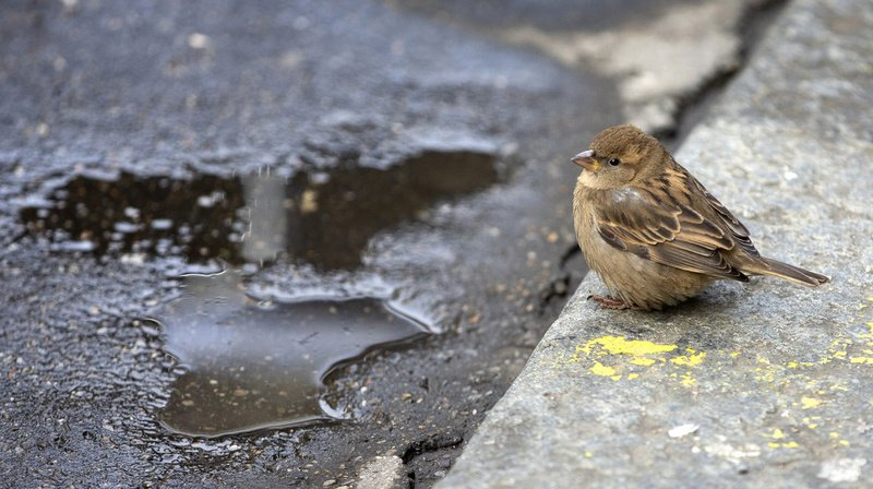 Plus de 220'000 oiseaux de 177 espèces ont été comptés lors de l'édition 2020.