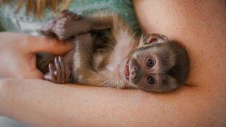 Crémines: un petit singe capucin au Sikypark