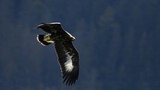 L'aigle à Neuchâtel: chronique d'un retour historique