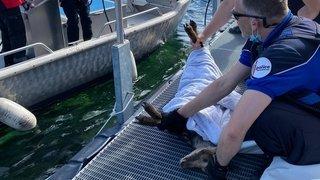 Neuchâtel: un chamois sauvé des eaux