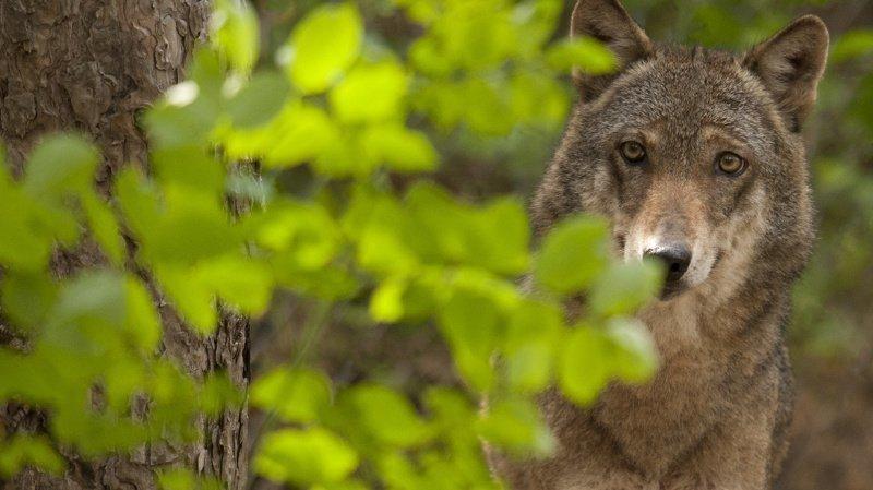Attaques de loups: pas de compensation en cas de désalpe précoce