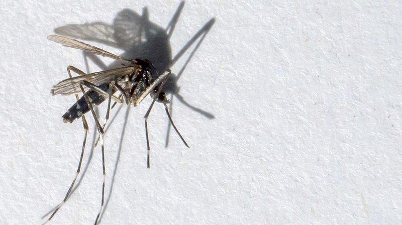 Environnement: la région lémanique unie pour lutter contre le moustique-tigre
