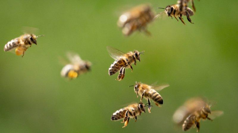 Environnement: l'hiver 2020-2021 a été fatal à 14,2% des colonies d'abeilles