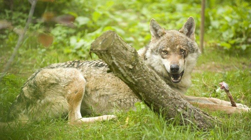 Les populations de loups pourront être régulées plus rapidement