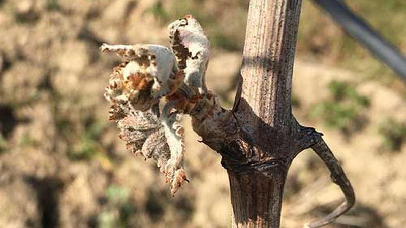 Les gelées d'avril ont causé la perte estimée d'un tiers de la production vinicole française.