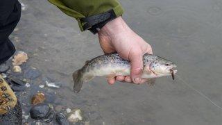 Des néonicotinoïdes dans les poissons de l'Arc jurassien, selon une étude neuchâteloise