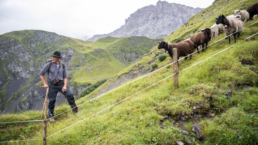 Embaucher un berger coûte cher, et la pose de clôtures est impossible dans certains alpages trop escarpés.