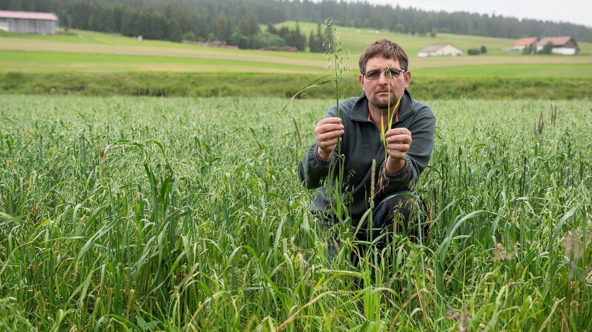 """Eddy Jeanneret dans sa culture d'avoine ravagée par la grêle et la pluie: """"La culture devait produire six tonnes. Cette année, j'espère en récolter 600 kilos."""""""