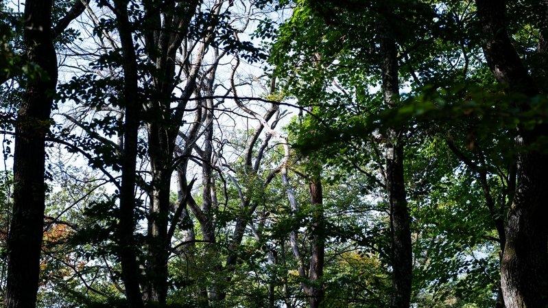 Après la sécheresse, la forêt jurassienne revit grâce à la pluie