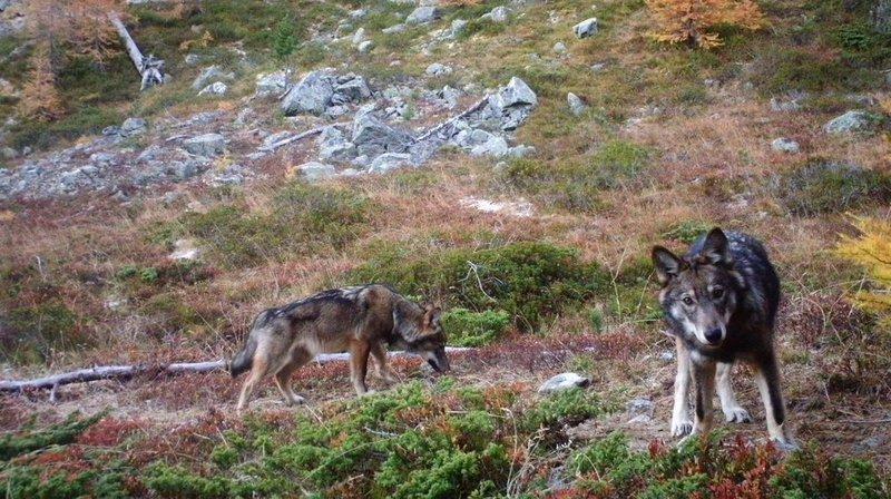 Pour abattre un loup en Suisse, il faut que ce dernier ait tué au moins 25 animaux de rente en un mois, ou 35 en quatre mois.