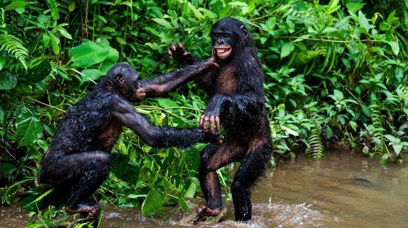 Selon une étude de l'Université de Neuchâtel, la politesse est de mise chez les singes