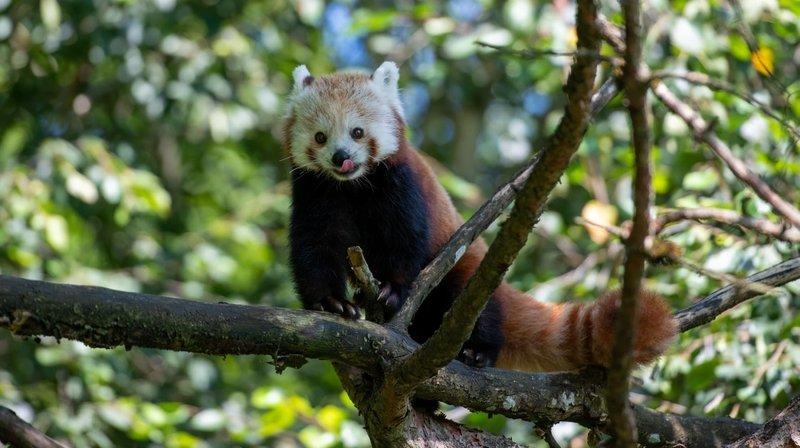 Arrivée d'un panda roux au zoo de Zurich