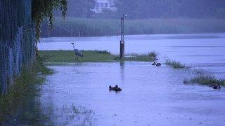 Entre la piscine du Landeron et le lac, les canards n'ont plus besoin de marcher. Le héron oui