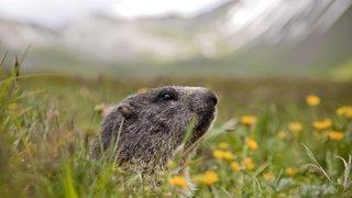 La marmotte, cette sentinelle si sympathique