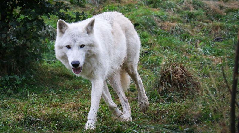 Le zoo de Crémines a accueilli deux loups blancs. Pour les acclimater à leur nouvel habitat, les prédateurs ne se trouvent pas encore dans un zone accessible au public.