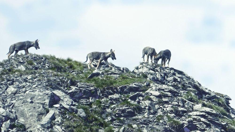 Grisons: 3 jeunes loups de la meute de Beverin pourront être abattus
