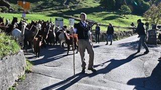 Alpagas et lamas bientôt stars outre-Rhin