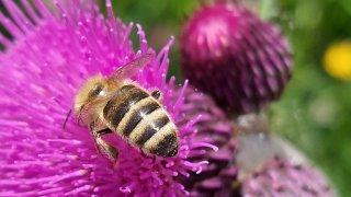 Une abeille star des Fleurs du patrimoine