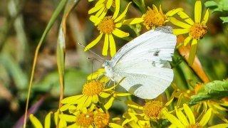 papillonEtSénéçon