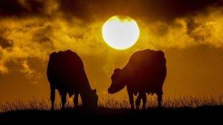 Vaches envoyées au petit coin pour réduire les gaz à effet de serre